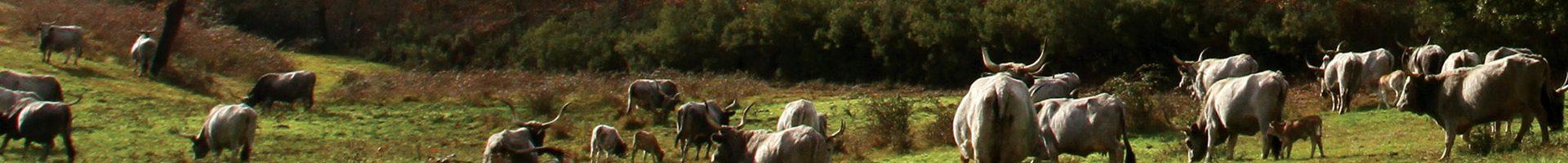 vacche_tenuta_di_paganico_paesaggio_macchia2_sito